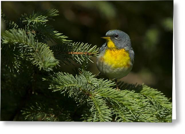 Warbler Greeting Cards - Northern Parula Greeting Card by Mircea Costina Photography