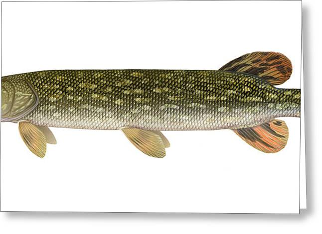 Northern Pike Greeting Cards - Northern Pike Greeting Card by Carlyn Iverson