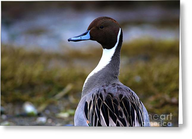 Best Ocean Photography Paintings Greeting Cards - Northern Pintail Duck Greeting Card by Sue Harper