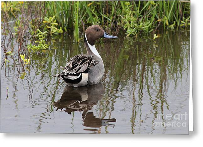 Tn Greeting Cards - Northern Pintail Greeting Card by TN Fairey