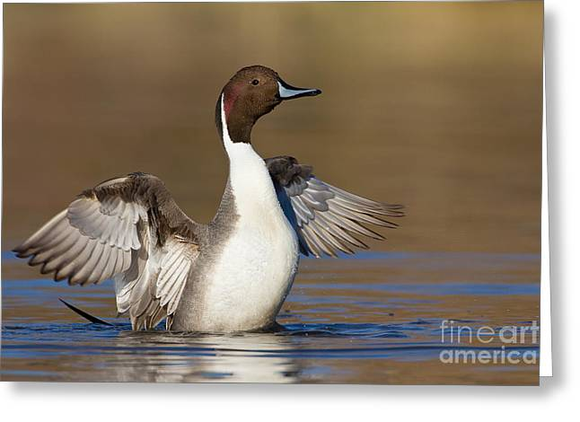 Northern Pintail Wing Flap Greeting Card by Bryan Keil