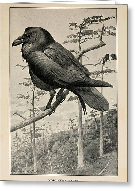 Raven Drawings Greeting Cards - Northern Raven Greeting Card by Louis Fuertes