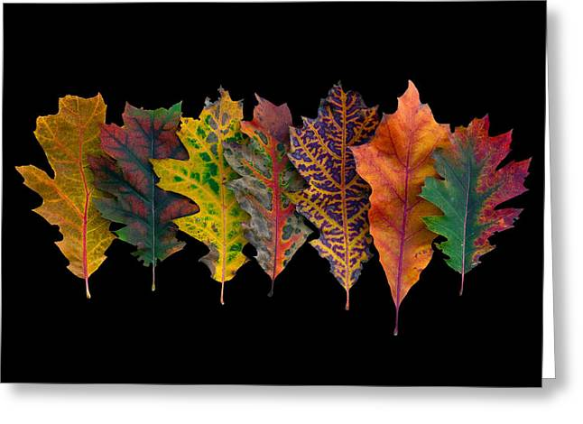 Northern Red Oak Leaves In Autumn Greeting Card by Frans Hodzelmans