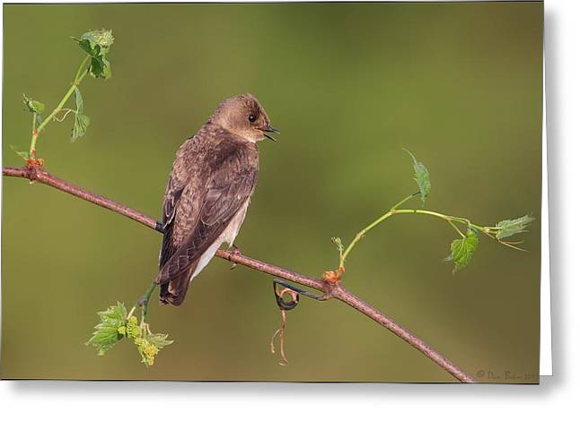 Grapevine Pyrography Greeting Cards - Northern Rough Winged Swallow Greeting Card by Daniel Behm