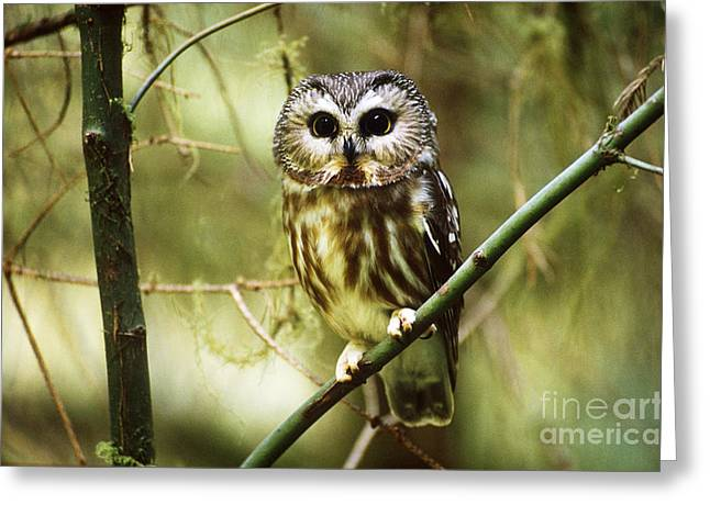 Saw Greeting Cards - Northern Saw-whet Owl Greeting Card by Art Wolfe