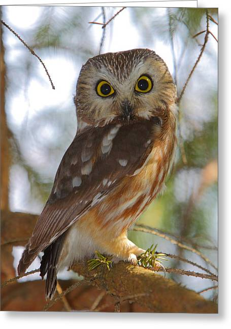 Owl Photographs Greeting Cards - Northern Saw-whet Owl Greeting Card by Bruce J Robinson