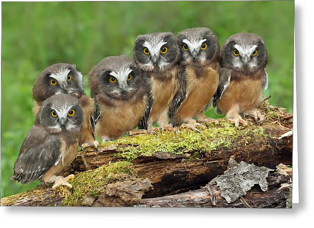 Baby Bird Greeting Cards - Northern Saw-whet Owl Chicks Greeting Card by Nick Saunders