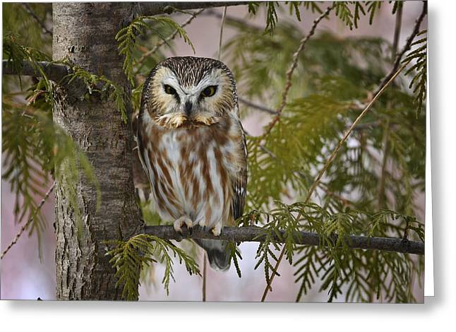 Saw Greeting Cards - Northern Saw Whet Owl Greeting Card by Gary Hall