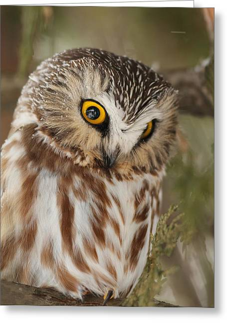 Saw Greeting Cards - Northern Saw-whet Owl in winter Greeting Card by Mircea Costina Photography