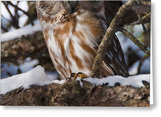Northern Saw-whet Owl.. Greeting Card by Nina Stavlund