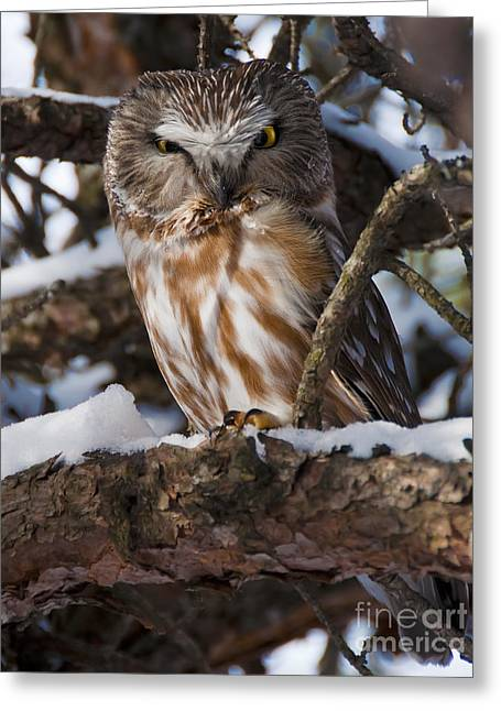 Saw Greeting Cards - Northern Saw-whet Owl.. Greeting Card by Nina Stavlund