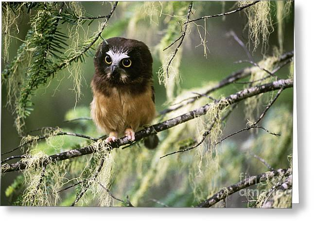 Saw Greeting Cards - Northern Saw-whet Owlet Greeting Card by Art Wolfe