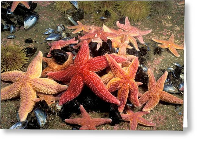 Northern Sea Stars Greeting Card by Andrew J. Martinez