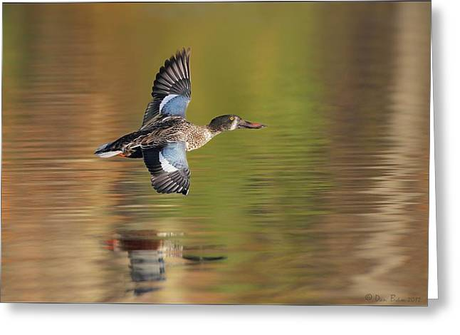 Reflection In Water Pyrography Greeting Cards - Northern Shoveler in Fligt Greeting Card by Daniel Behm