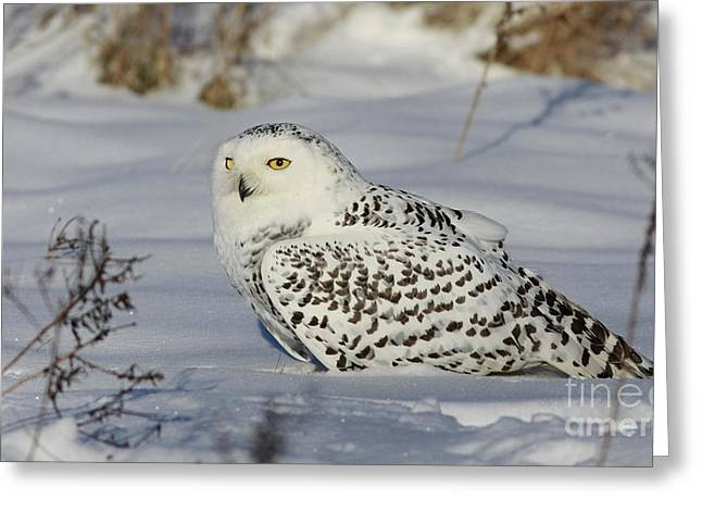 Shelley Myke Greeting Cards - Northern Spirit- Snowy Owl Greeting Card by Inspired Nature Photography By Shelley Myke