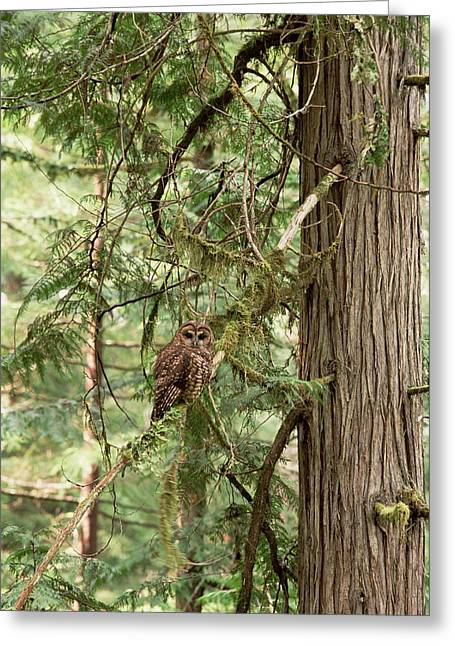 Gerry Greeting Cards - Northern Spotted Owl Pacific Northwest Greeting Card by Gerry Ellis