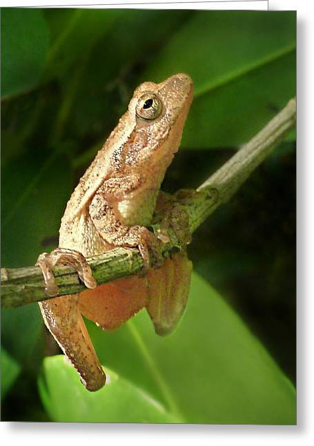 Northern Spring Peeper Greeting Card by William Tanneberger