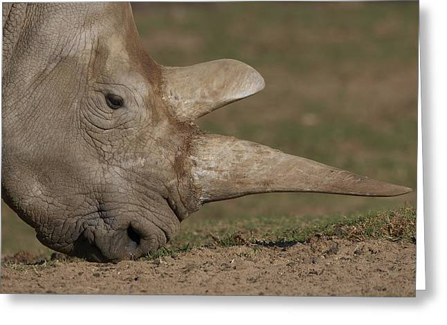 Rhinocerotidae Greeting Cards - Northern White Rhinoceros Grazing Greeting Card by San Diego Zoo