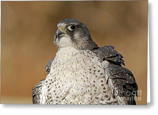 Shelley Myke Greeting Cards - Northern Wind Arctic Wildlife Gyrfalcon Greeting Card by Inspired Nature Photography By Shelley Myke