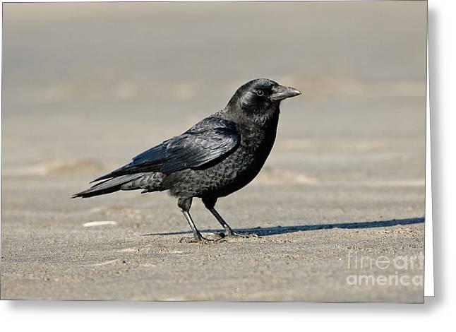 Corvidae Greeting Cards - Northwestern Crow Greeting Card by Anthony Mercieca