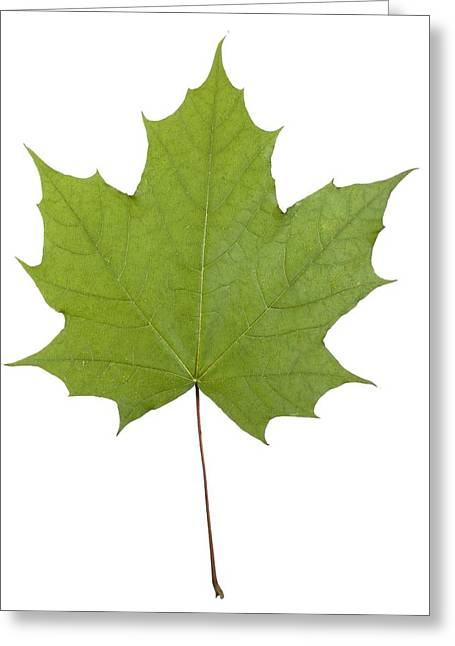 Norway Maple Greeting Cards - Norway maple (Acer platanoides) leaf Greeting Card by Science Photo Library