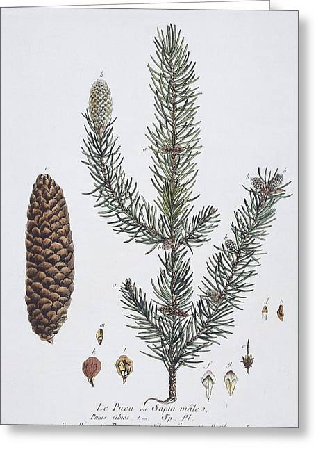 Pine Needles Greeting Cards - Norway spruce, historical artwork Greeting Card by Science Photo Library