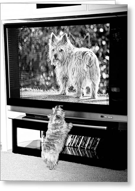 Watch Dog Greeting Cards - Norwich Terrier Bigger Than Life Greeting Card by Susan Stone