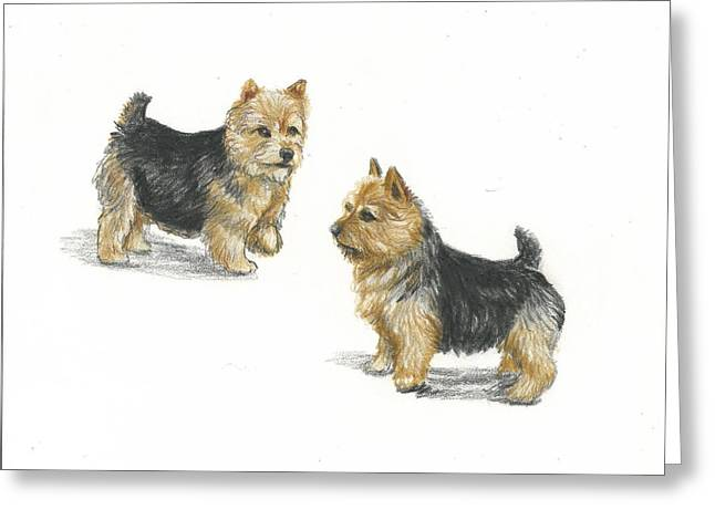 Puppies Drawings Greeting Cards - Norwich Terrier breed Greeting Card by Daniele Trottier