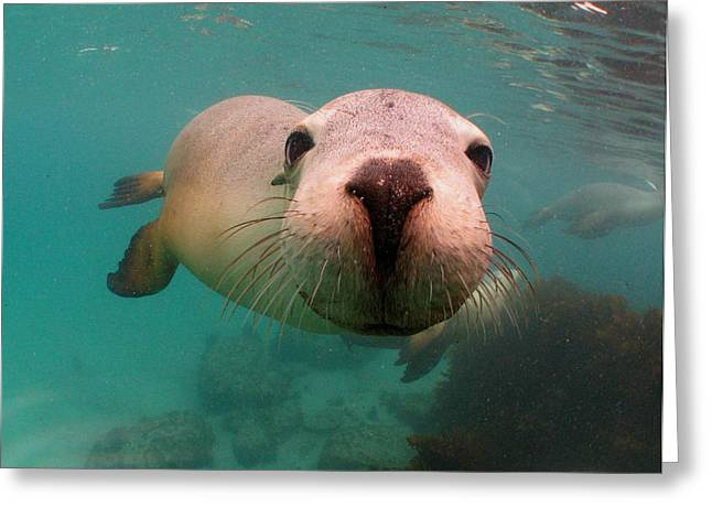 Hopkins Island Greeting Cards - Nosey Sea lion Greeting Card by Crystal Beckmann