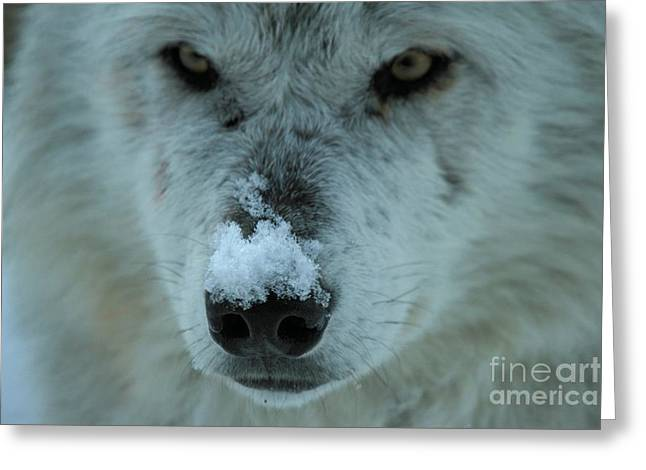 Alpha Wolf Greeting Cards - Nosey Wolf Greeting Card by Adam Jewell