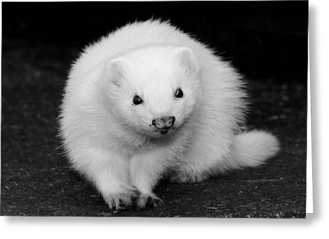 White Ferret Greeting Cards - Not Quite Snow White Greeting Card by Nigel Espley