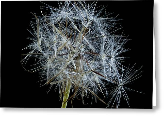 Jean Noren Greeting Cards - Not so Perfect Dandelion Greeting Card by Jean Noren