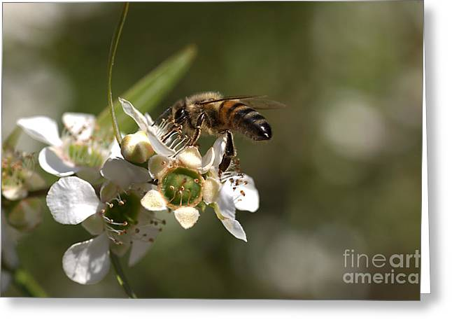 Australian Bees Greeting Cards - Nourishment Greeting Card by Joy Watson