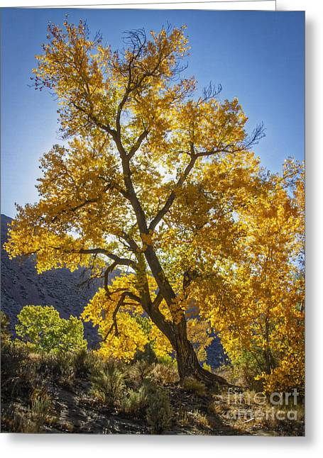 Bule Greeting Cards - November Cottonwood Greeting Card by Mitch Shindelbower