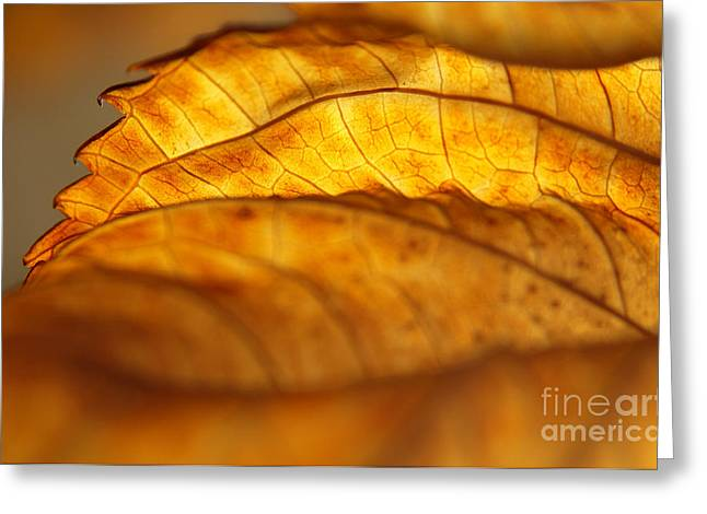 Curvy Beauties Greeting Cards - November Edge of Backlit Hydrangea Leaf Greeting Card by Anna Lisa Yoder