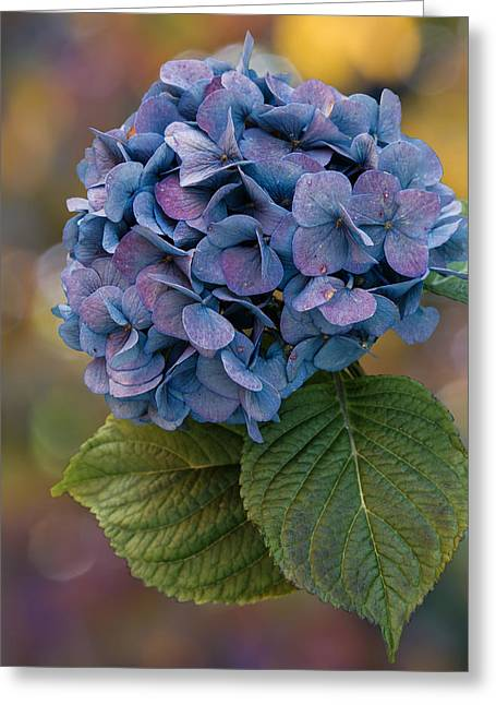 Purple Hydrangeas Greeting Cards - November Hydrangea Greeting Card by Angie Vogel