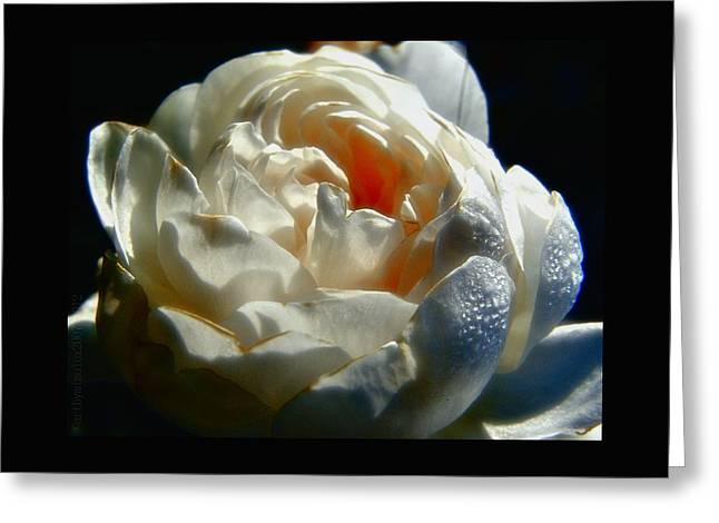 Dewdrops Greeting Cards - November Rose Greeting Card by Mimulux patricia no