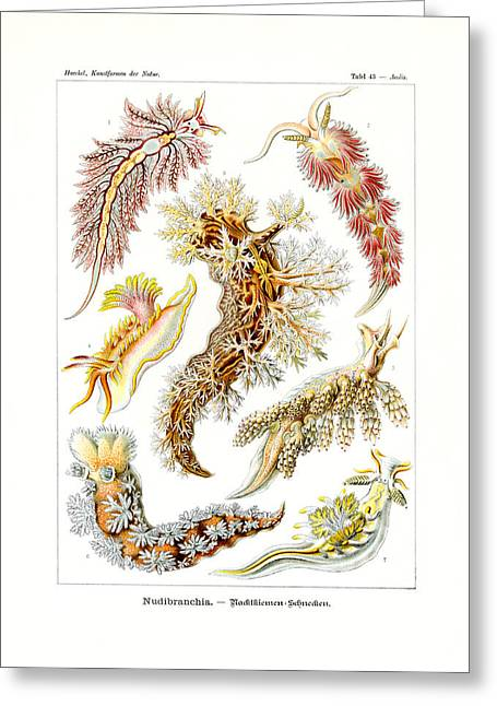 Nudibranchia Greeting Card by Ernst Haeckel