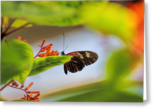 Orange And Brown Wings Greeting Cards - Numata Longwing Butterfly 2 Greeting Card by Becca Buecher