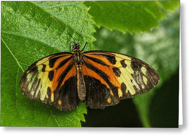 Orange And Brown Wings Greeting Cards - Numata Longwing Butterfly Greeting Card by Becca Buecher