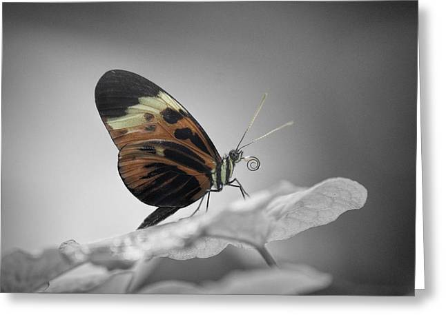 Orange And Brown Wings Greeting Cards - Numata Longwing Butterfly-Nectar Greeting Card by Becca Buecher