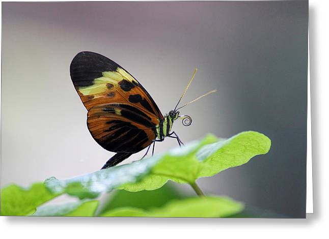 Orange And Brown Wings Greeting Cards - Numata Longwing Butterfly-Nectar in Color Greeting Card by Becca Buecher