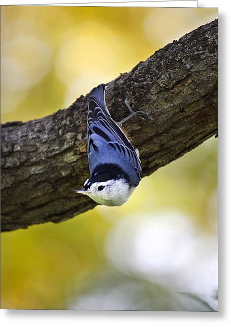 Bird In Tree Greeting Cards - Nuthatch Greeting Card by Christina Rollo