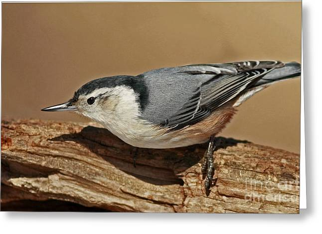 Shelley Myke Greeting Cards - Nuthatch Gathering Insects from a Tree in the Forest Greeting Card by Inspired Nature Photography By Shelley Myke