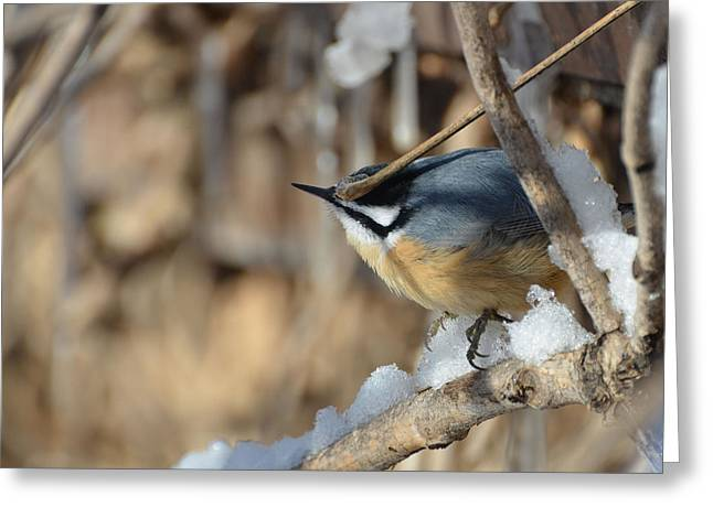 Bird On A Vine In The Winter Greeting Cards - Nuthatch On A Vine In The Snow Greeting Card by Chris Tennis