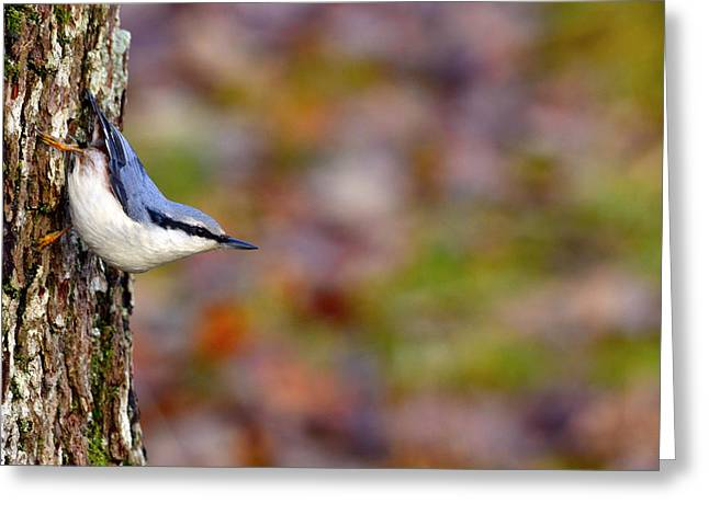 Bokhe Greeting Cards - Nuthatch Sitta europaea Greeting Card by Toppart Sweden