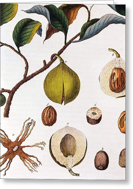 Culinary Drawings Greeting Cards - Nutmeg Myrsitica Fragrans Greeting Card by Anonymous