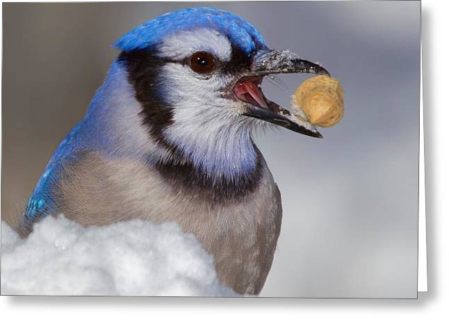 Feeding Birds Greeting Cards - Nuts To This Winter Greeting Card by John Absher