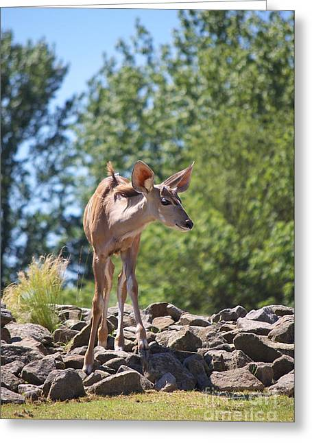 Himmel Greeting Cards - Nyala Greeting Card by Angela Doelling AD DESIGN Photo and PhotoArt