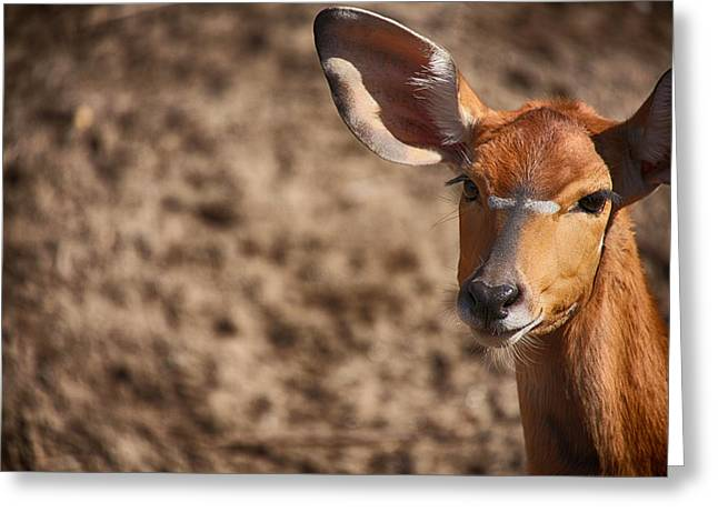 Nyala Beauty Greeting Card by Karol Livote